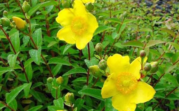 Aliviar dolores con hierbas - Hierba de San Juan